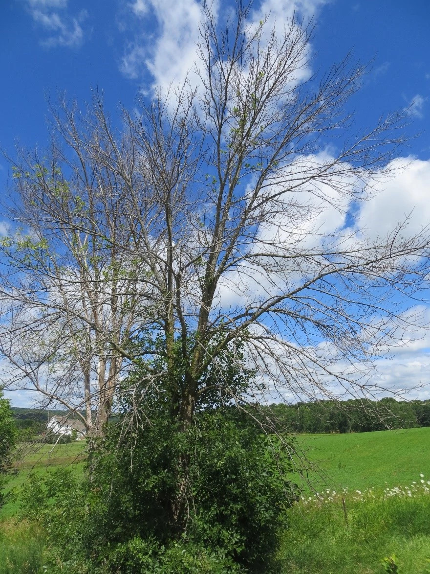 An ash tree infected with emerald ash borer is shown dying from the top down with branches sprouting low on the trunk of the tree.