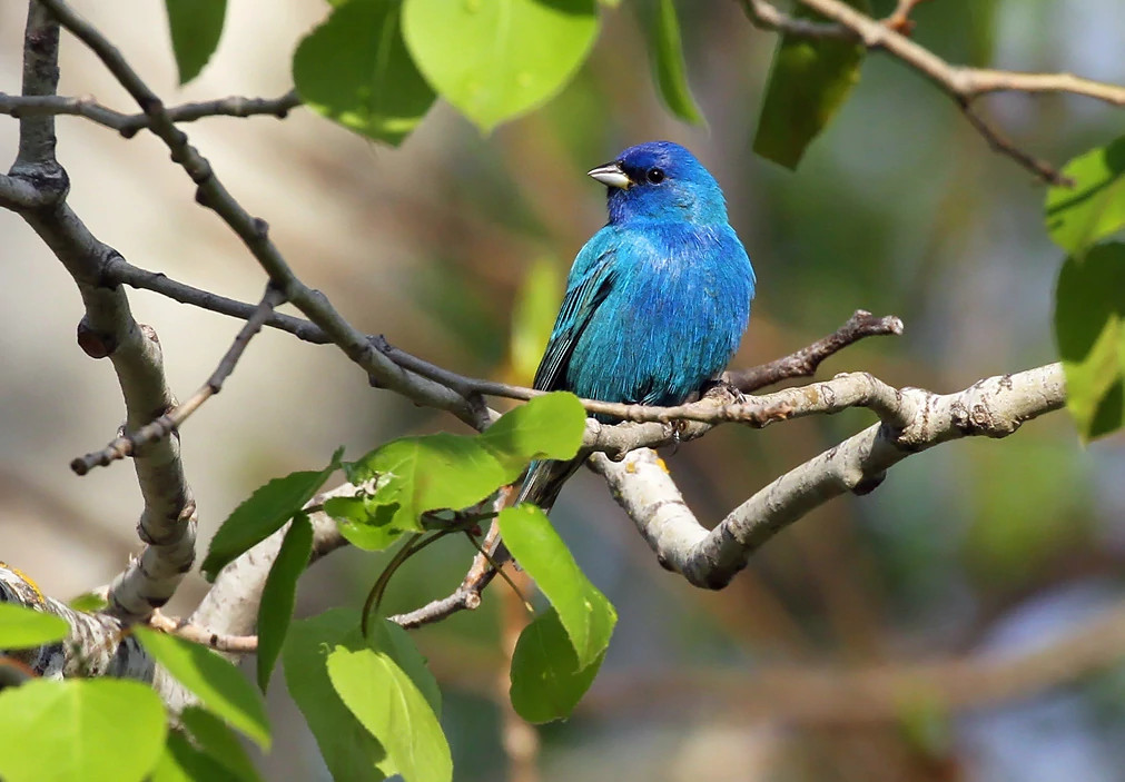 blue indigo bunting perched in a tree