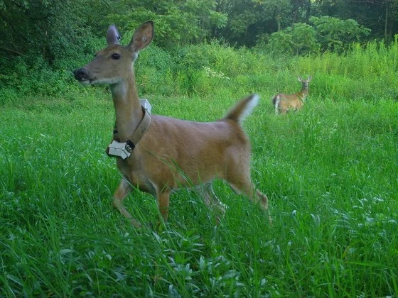 A deer wearing a radio collar stands in a field of tall grass.