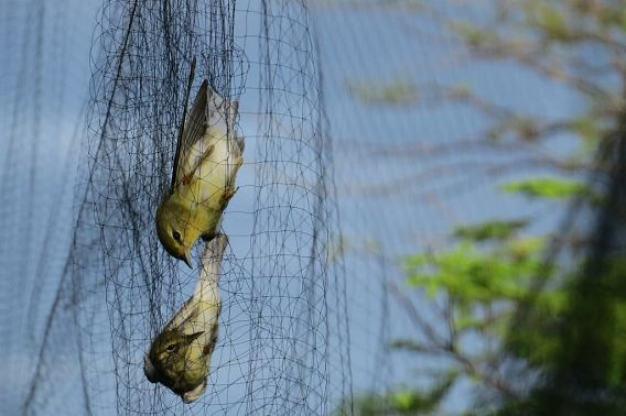 two birds in a mist net