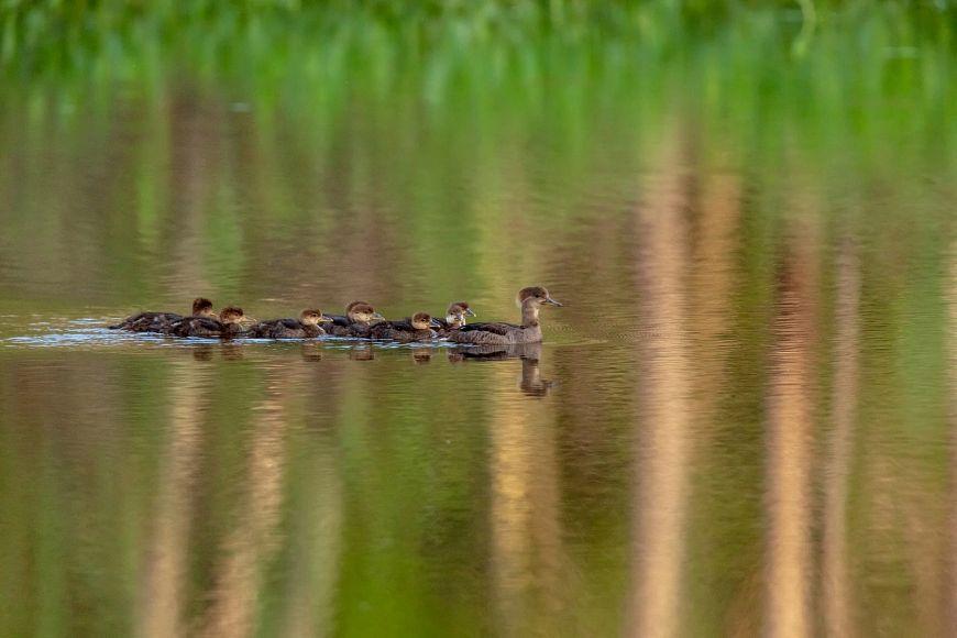 hooded merganser hen and ducklings