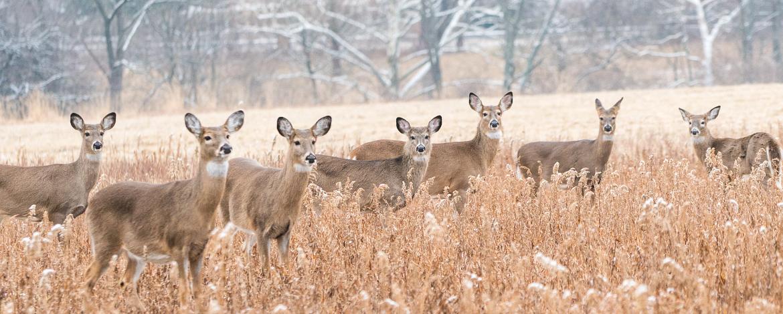 Herd-of-white-tailed-deer--Odocoileus-virginianus--looking-at-camera.-1090243582_3140x1592.jpeg