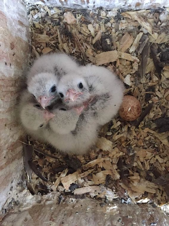 American kestrel chicks
