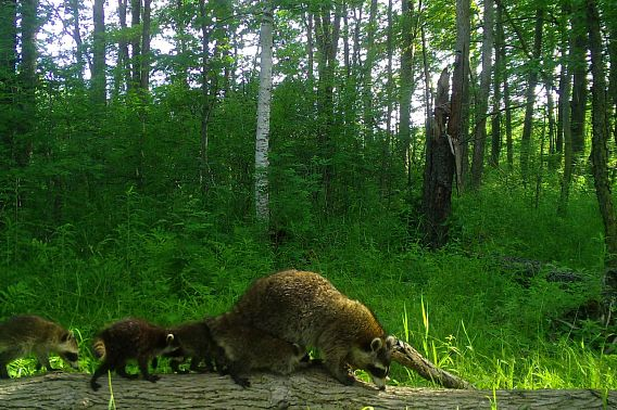 A family of raccoons on a log in the forest.