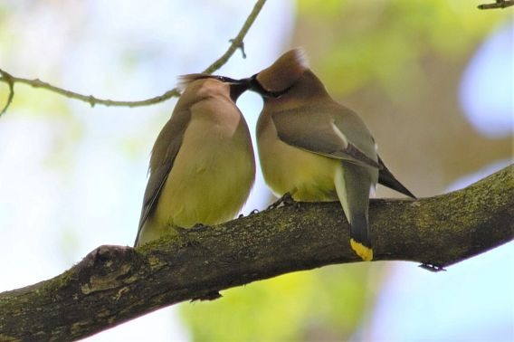 pair of cedar waxwings in a tree