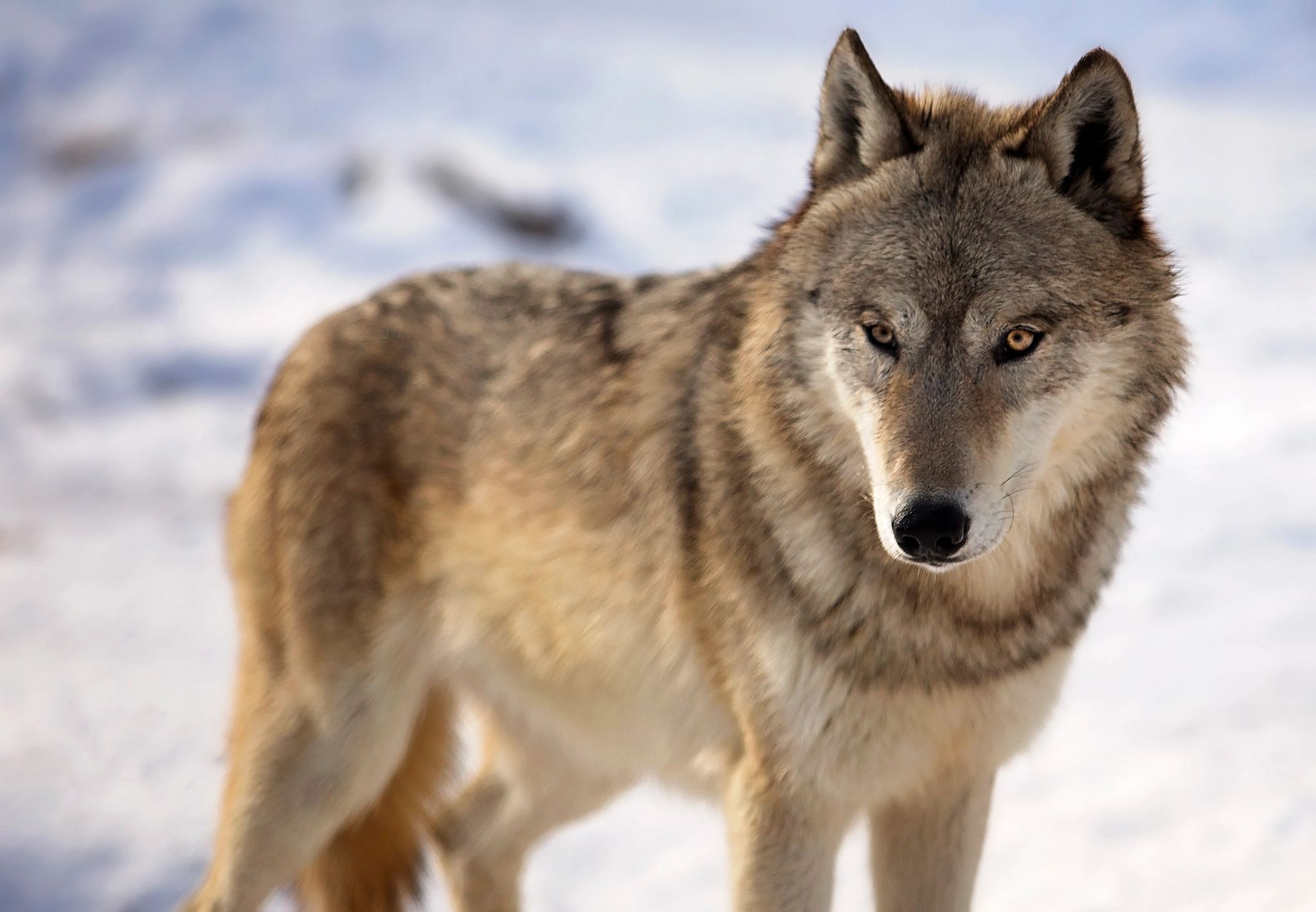 An image of a gray wolf during a Wisconsin winter.