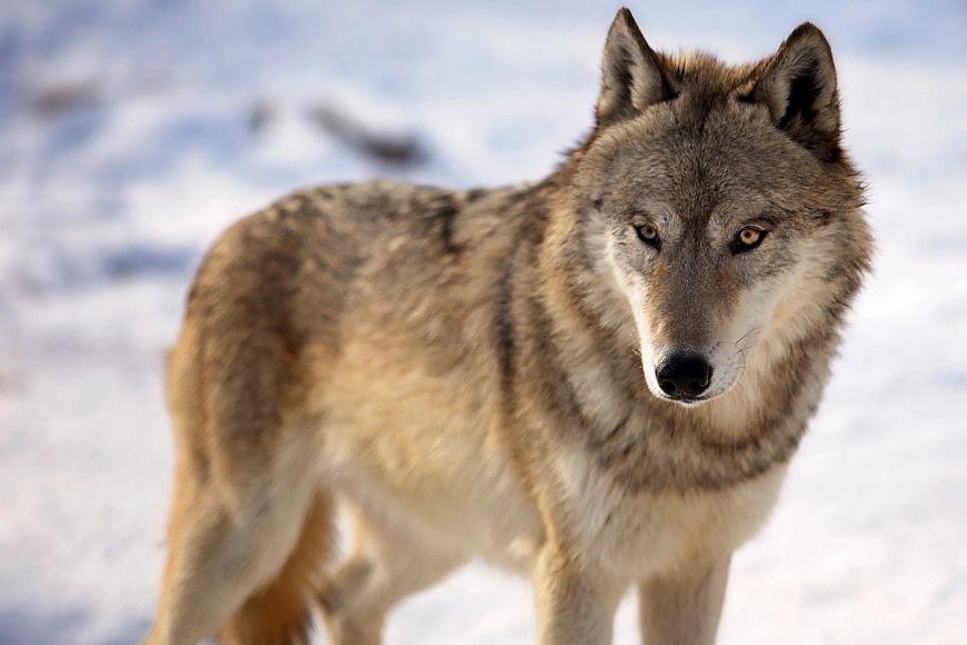 Gray-Wolf-904285076_3520x2440.jpeg