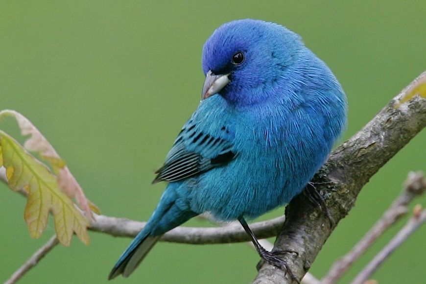 bright blue indigo bunting on a branch