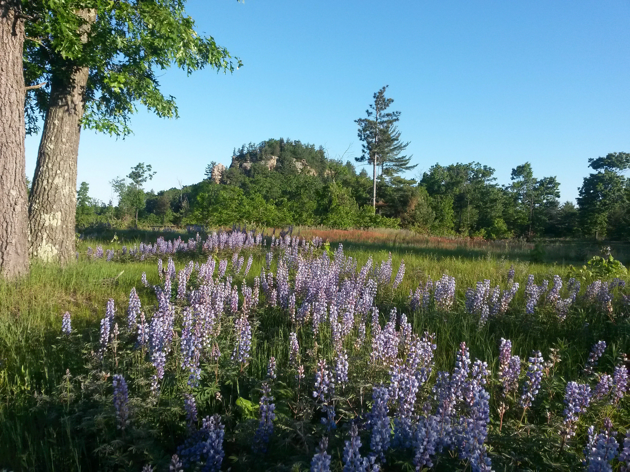 blue lupine upon a bluff at Quincy Bluff and Wetlands State Natural Area in Adams County