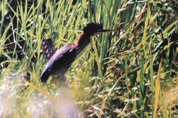 green heron in marshy area