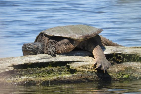 snapping turtle on a log
