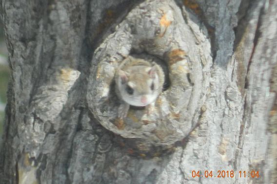 flying squirrel peeking from hole in tree