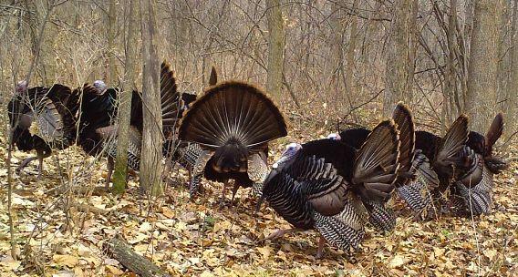 multiple wild turkeys in the woods