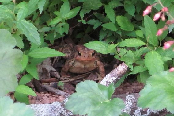 American toad in garden