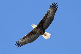 Ferry-Bluff_bald-eagle_Ryan-Brady.jpg