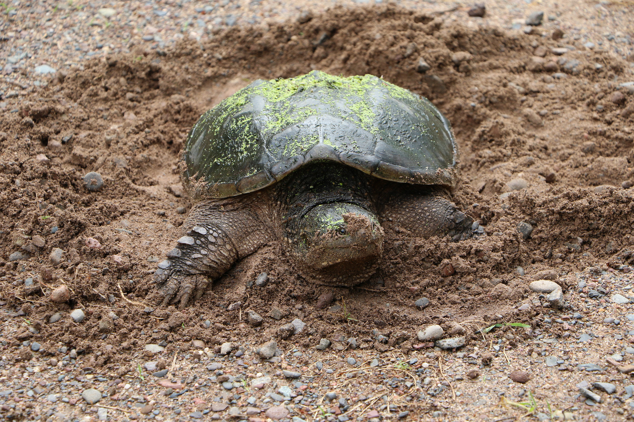 snapping turtle nesting in sand