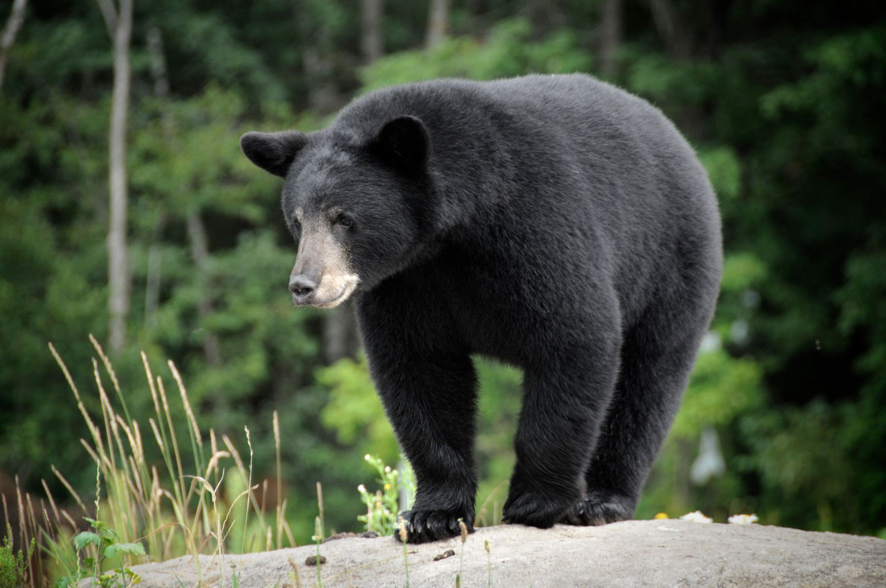 Image of a black bear standing on a rock.