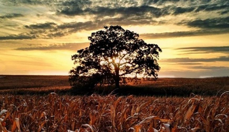majestic bur oak in field with orange sky