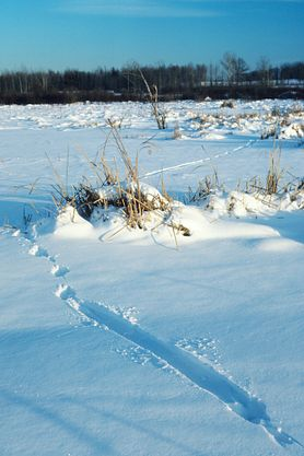 Otter tracks in snow