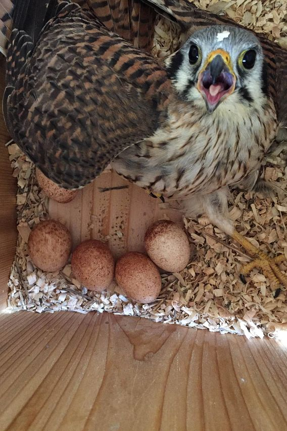 American kestrel with eggs