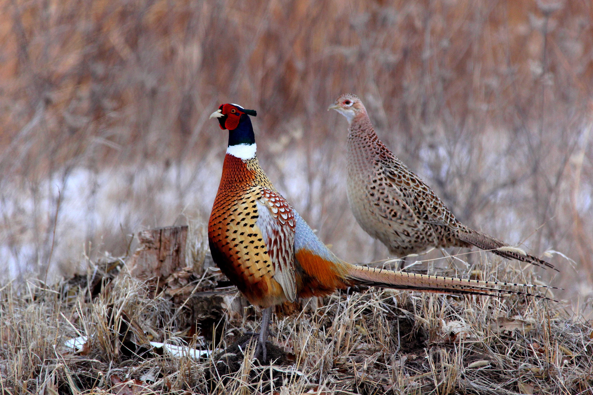 A photo of two pheasants in a field