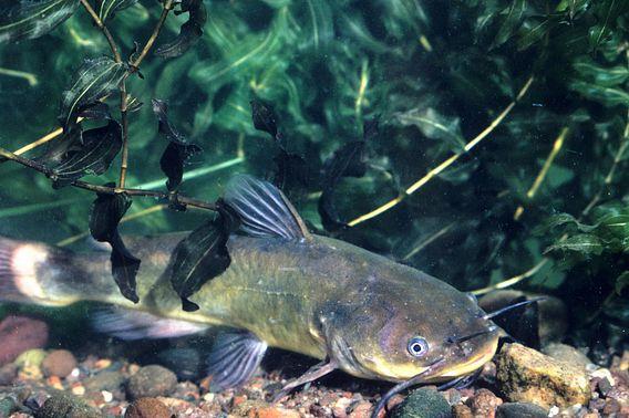 brown bullhead catfish