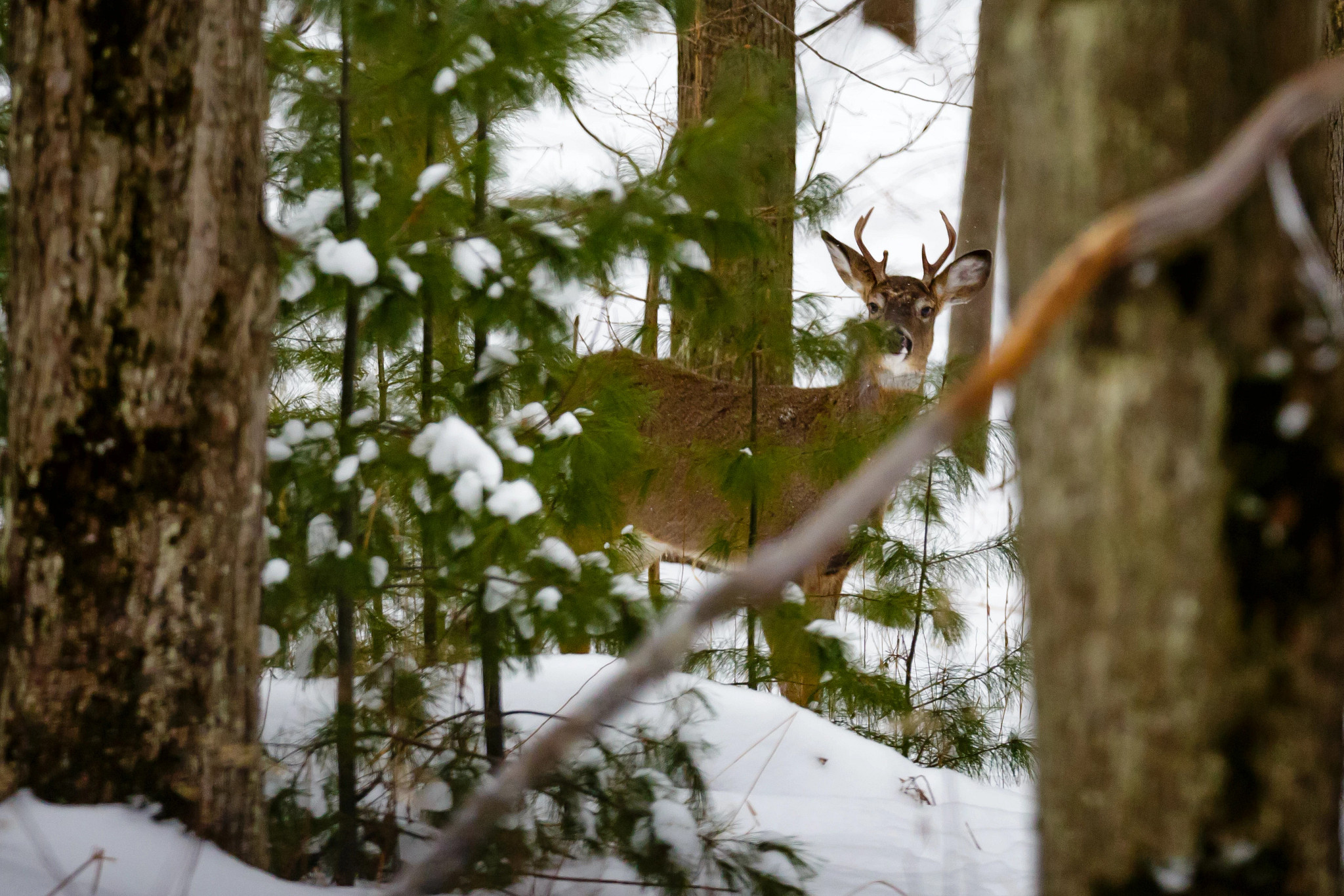 A whitetail buck peers through the woods on a snowy day.