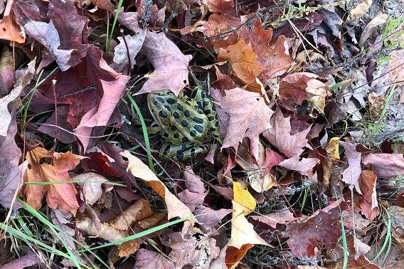 northern leopard frog hidden among leaves
