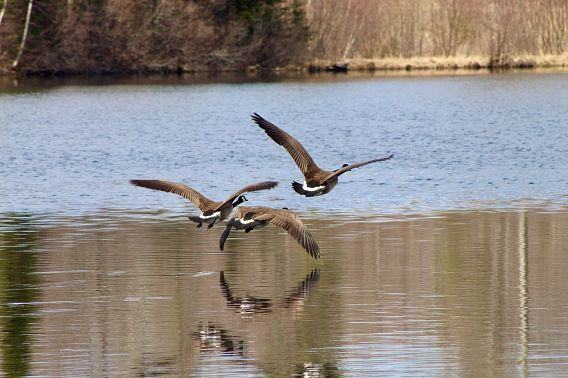 geese flying low over water