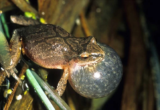 A spring peeper frog mid-call with throat enlarged.