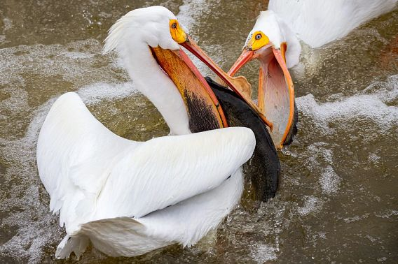 two white pelicans battle for a fish