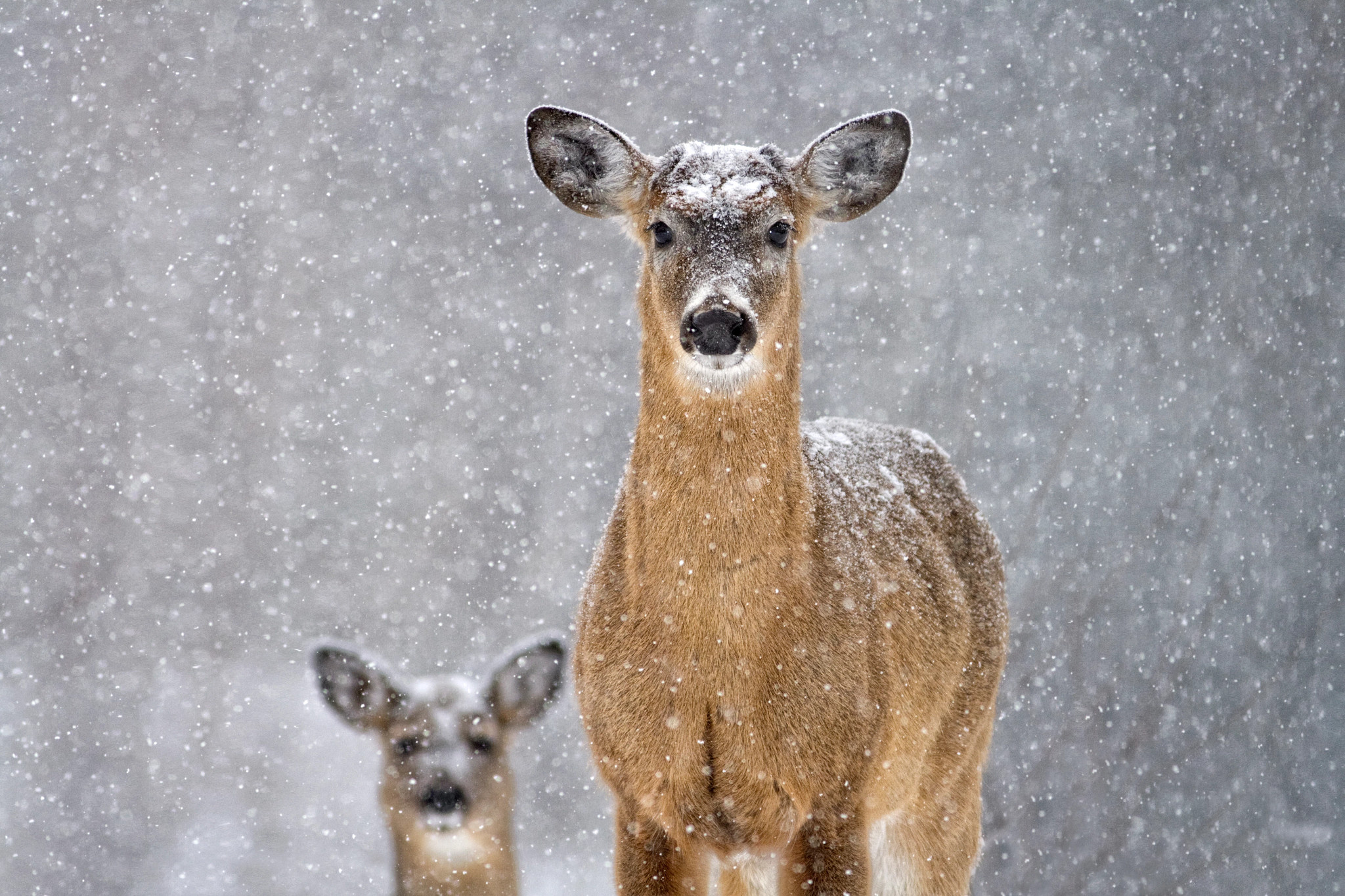 Two deer in the snow.