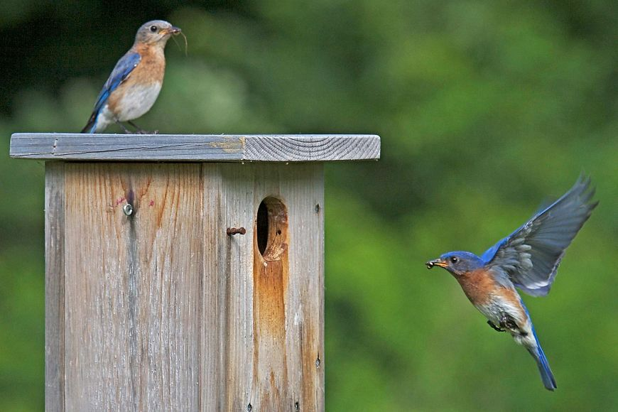 two bluebirds at nest box