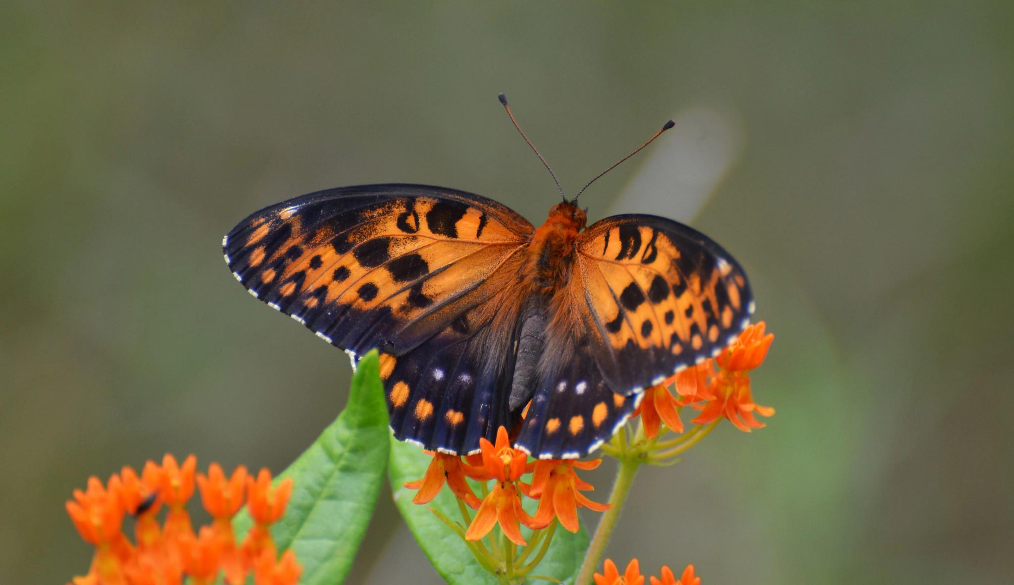 close up of regal fritillary butterfly landing on flower