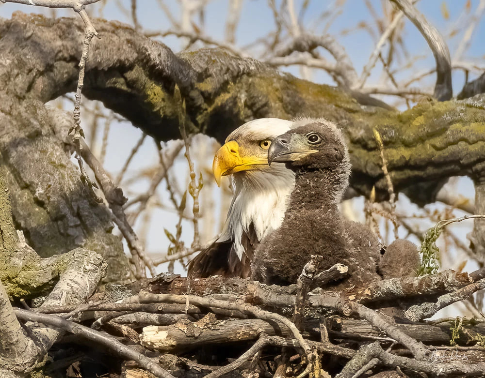 eagle chick in a nest with its parent