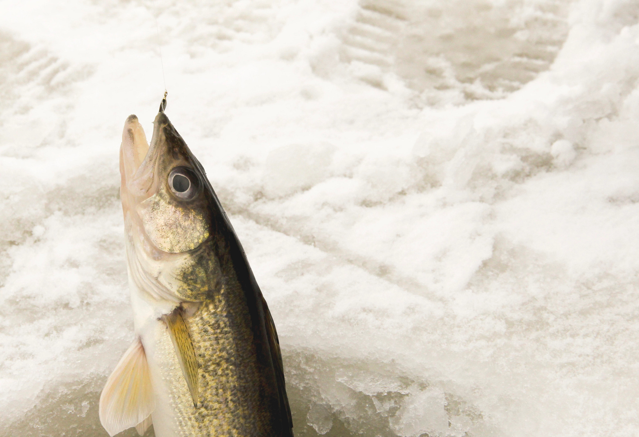 Walleye emerging from an ice fishing hole