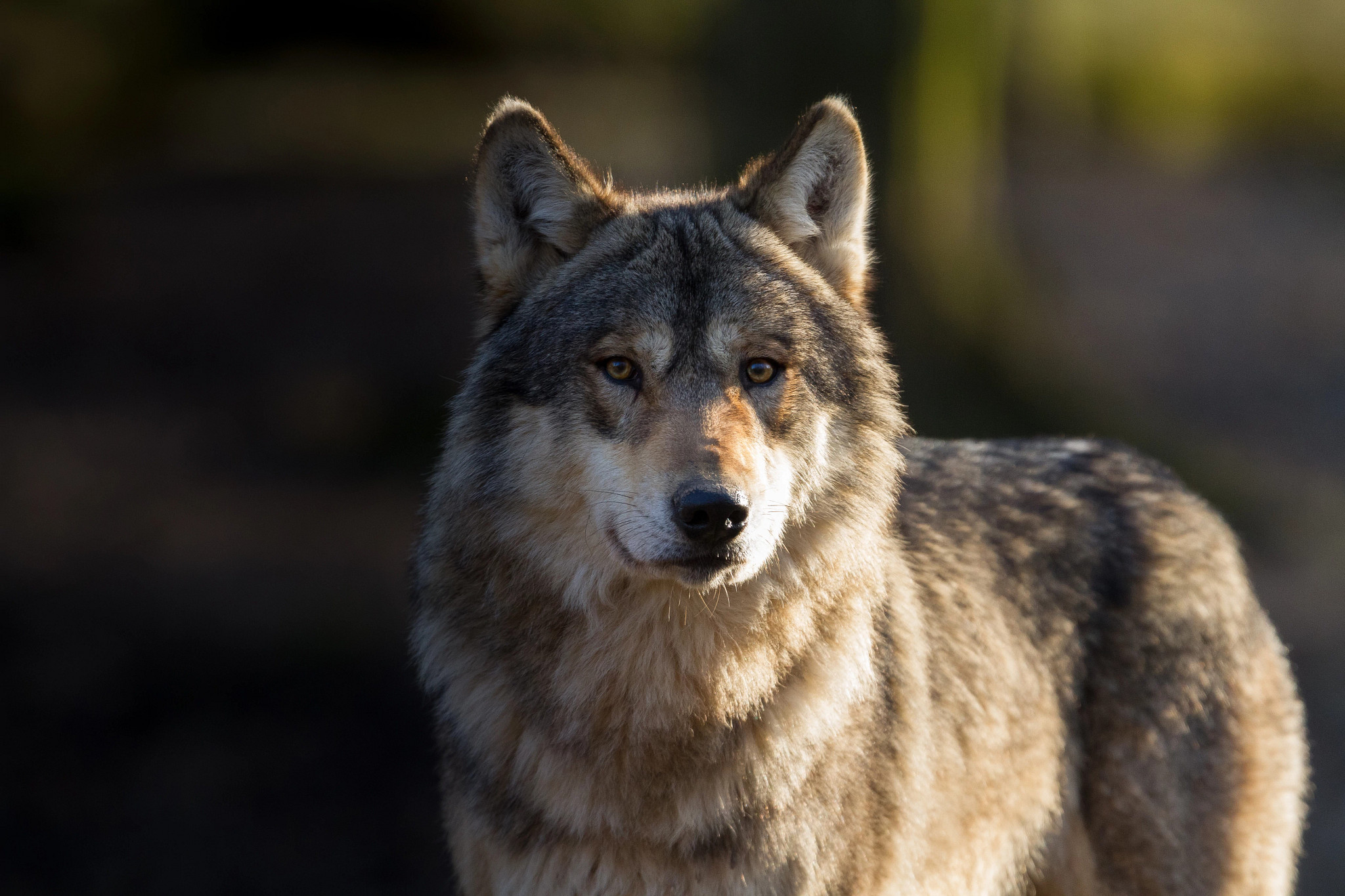 A gray wolf stares at the camera.