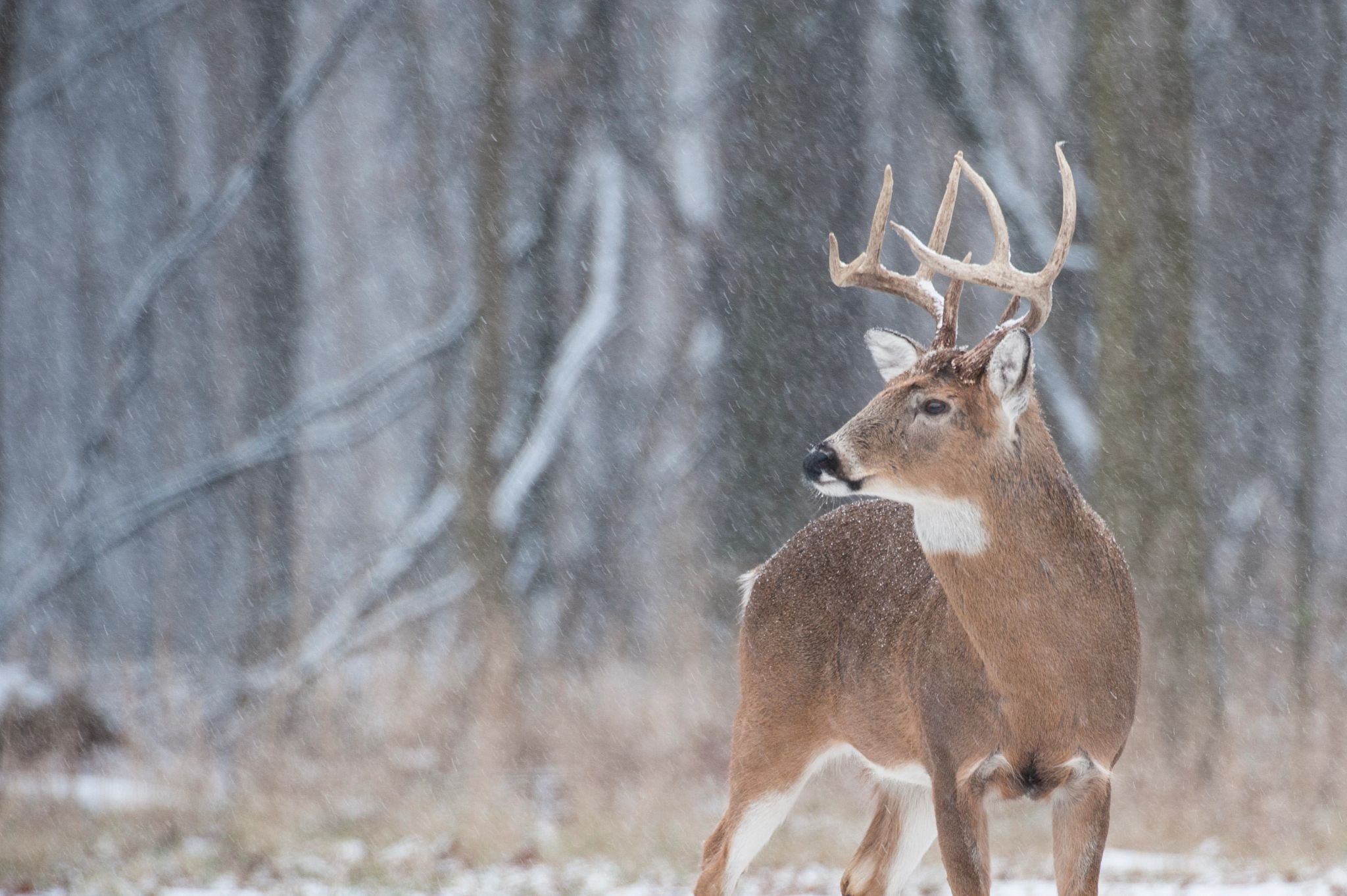 An image of a whitetail buck standing in the snow.