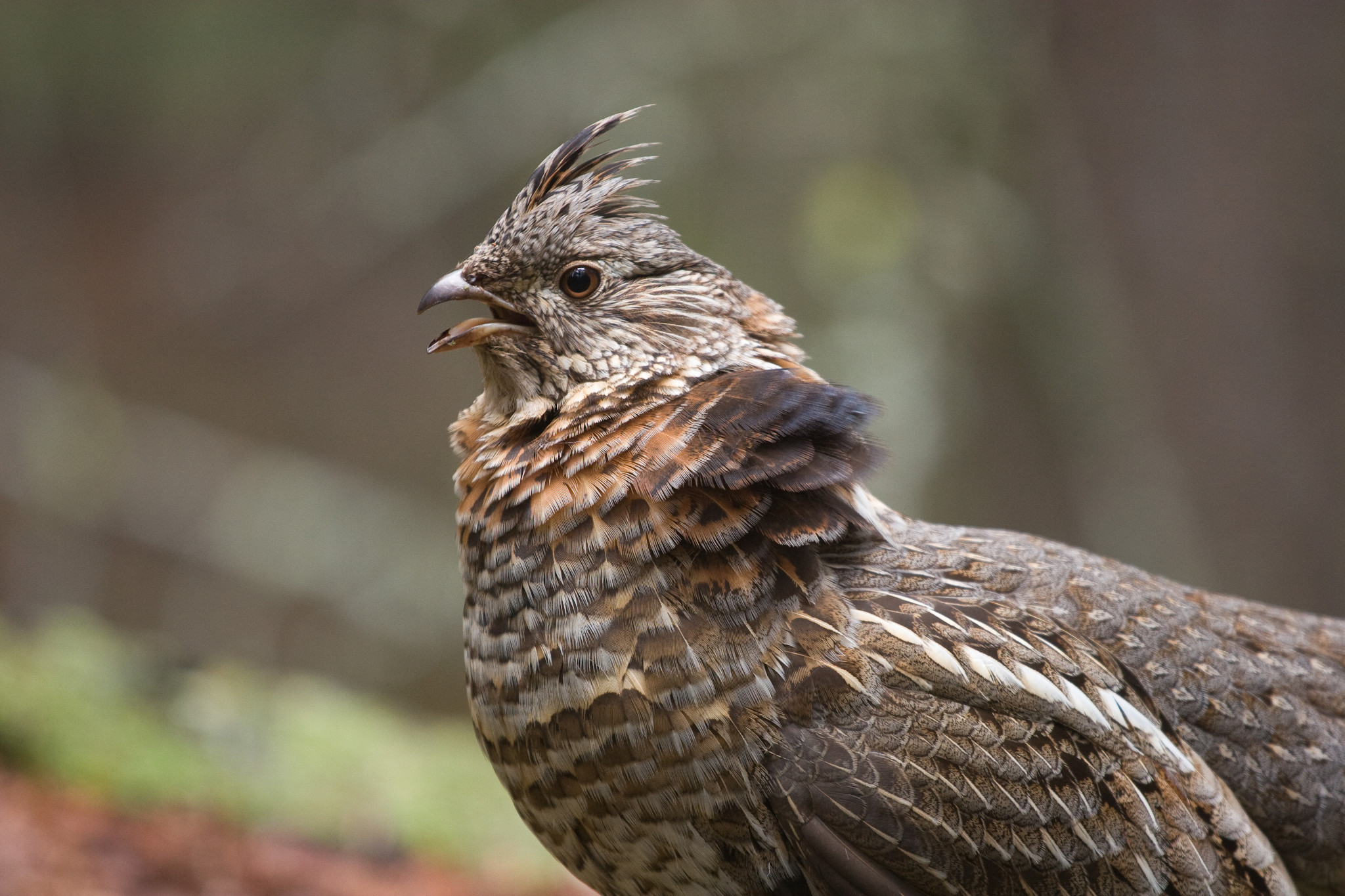 male ruffed grouse with puffed feathers for a mating display