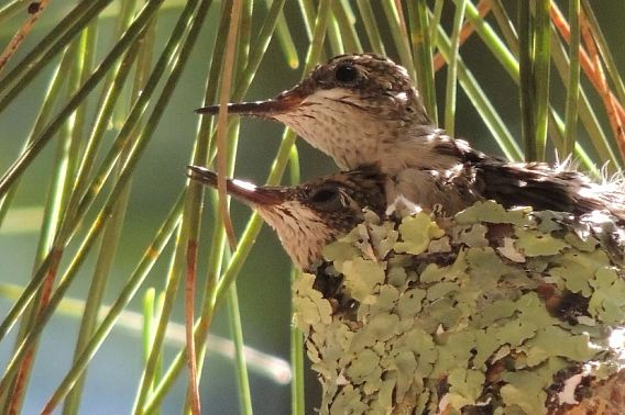 two hummingbirds in a nest
