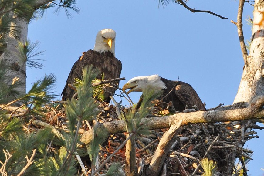 A close-up of two eagles sitting in a nest.