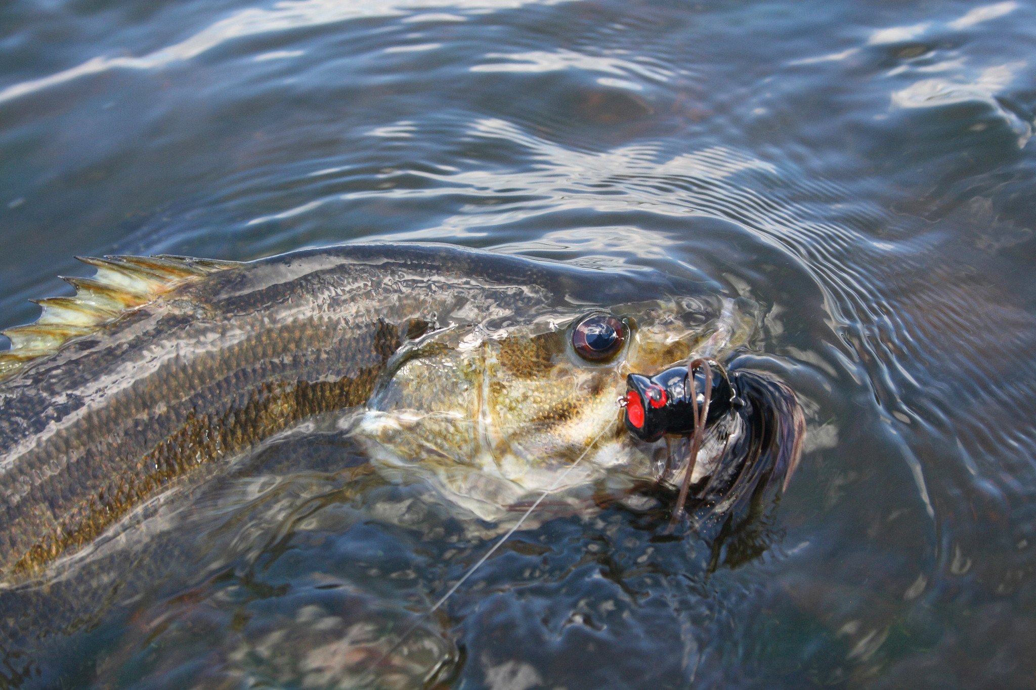 A smallmouth bass in the water.