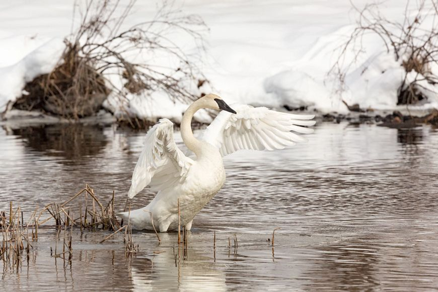 trumpeter swan on water raising its wings
