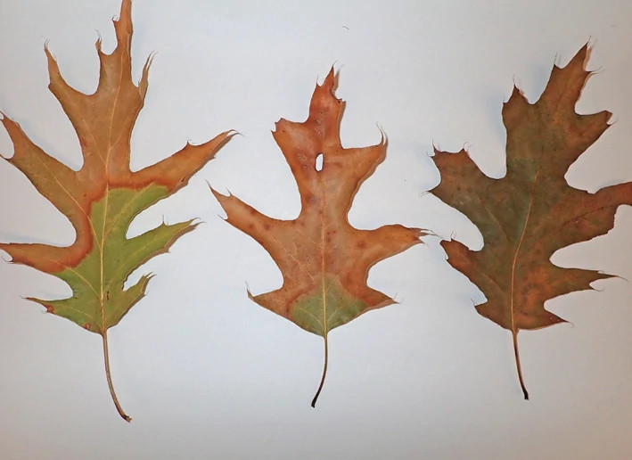 Red oak leaves with oak wilt symptoms