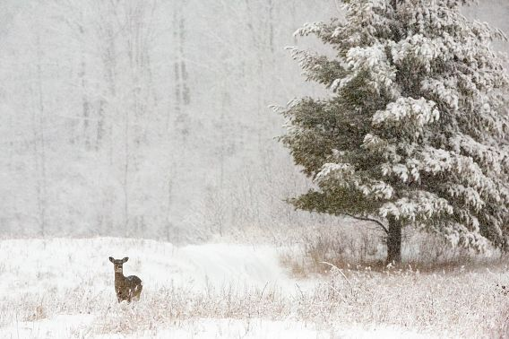 single deer on snowy landscape