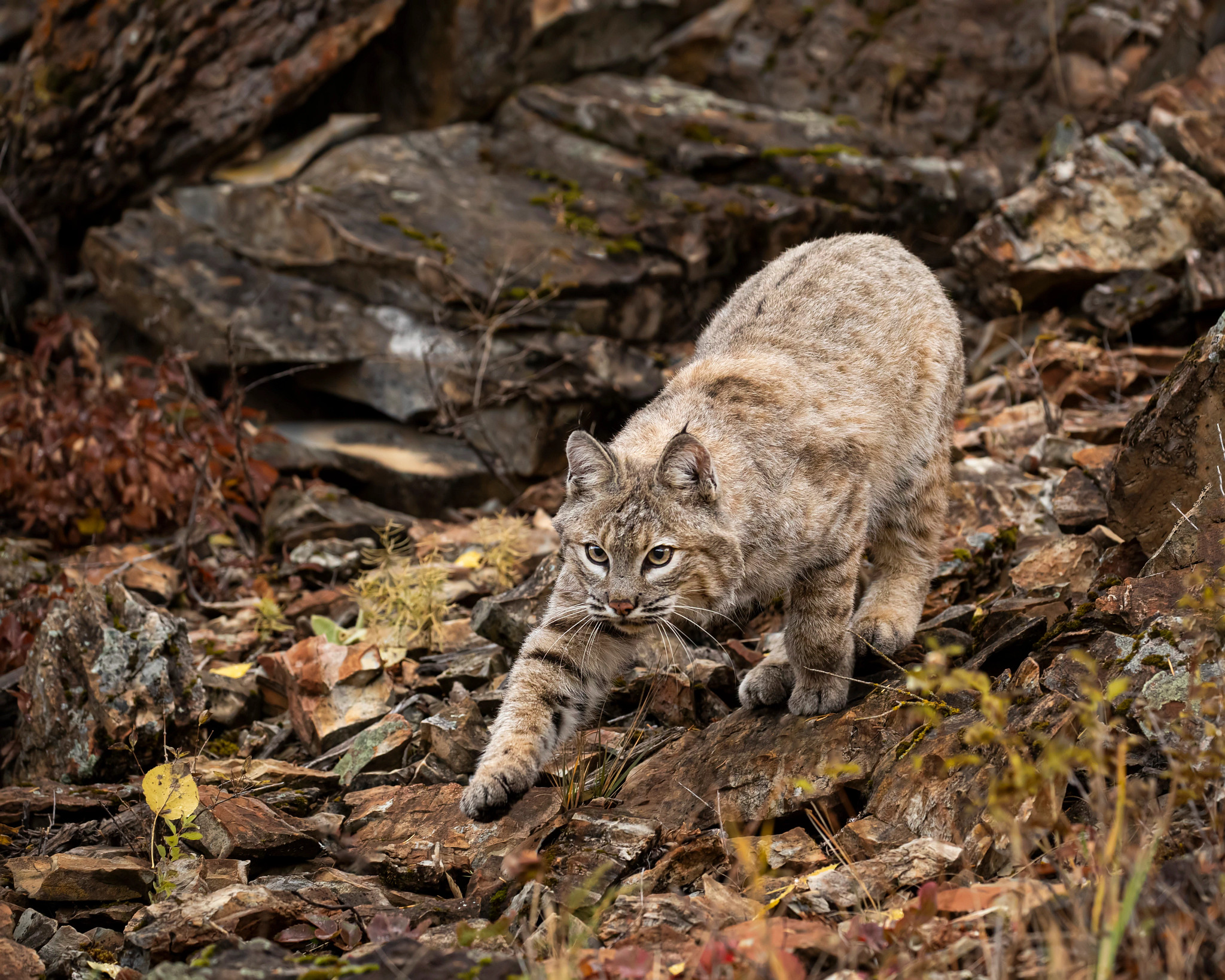 a bobcat stalks in prey in the woods