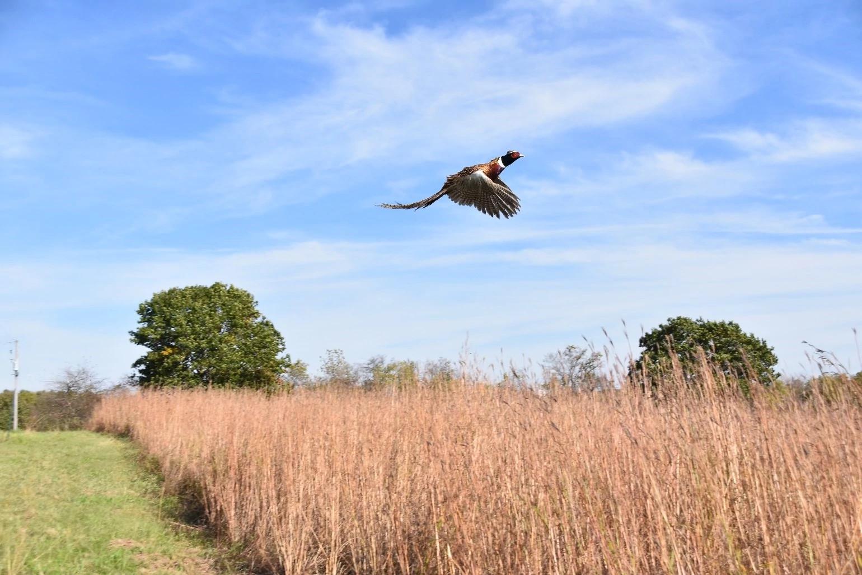 A ring-necked pheasant takes flight at Goose Lake State Wildlife Area