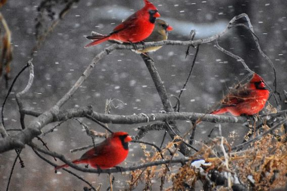 multiiple red cardinals on snowy branches