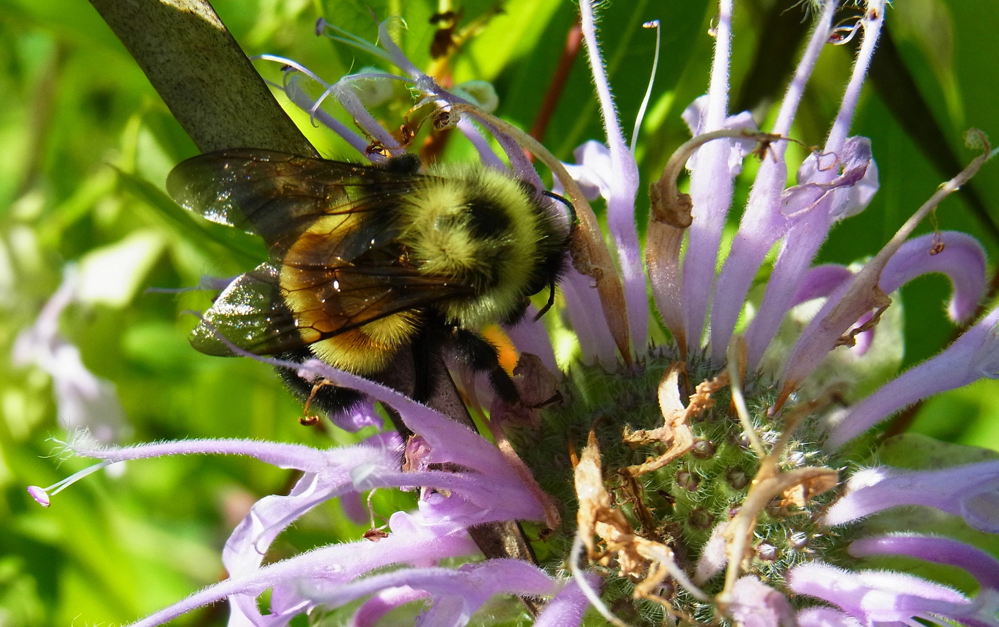 rusty patched bumble bees drinking from a purple flower