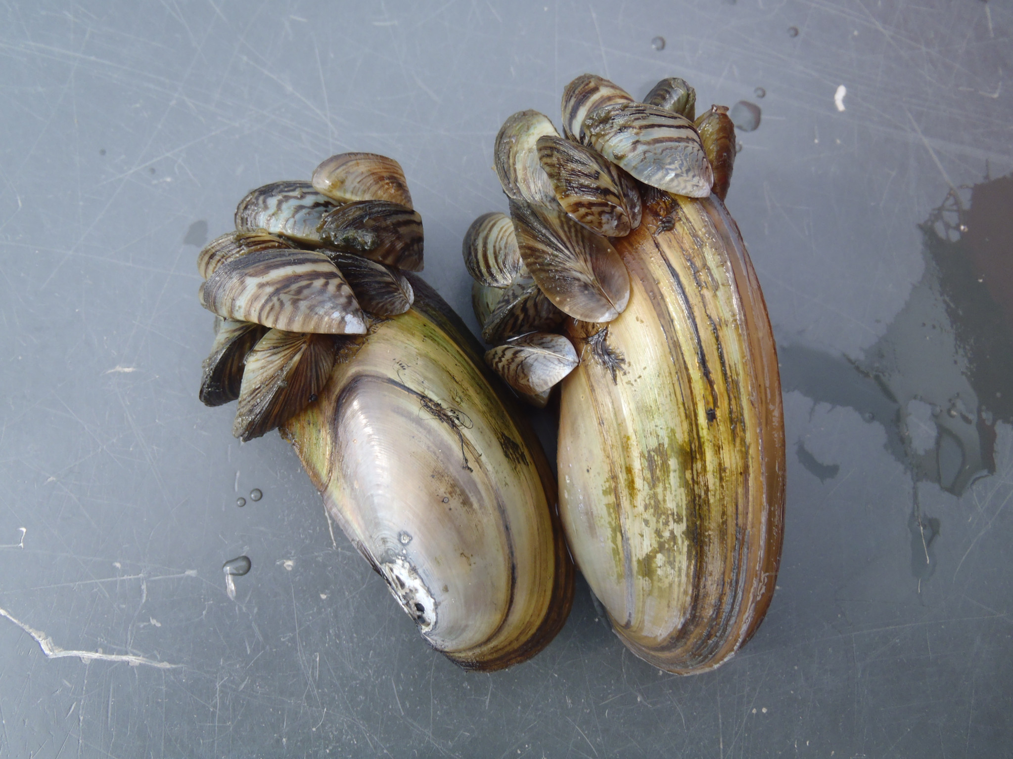 Native mussels slowly smothered by the colony of invasive zebra mussels covering the opening of their shells.